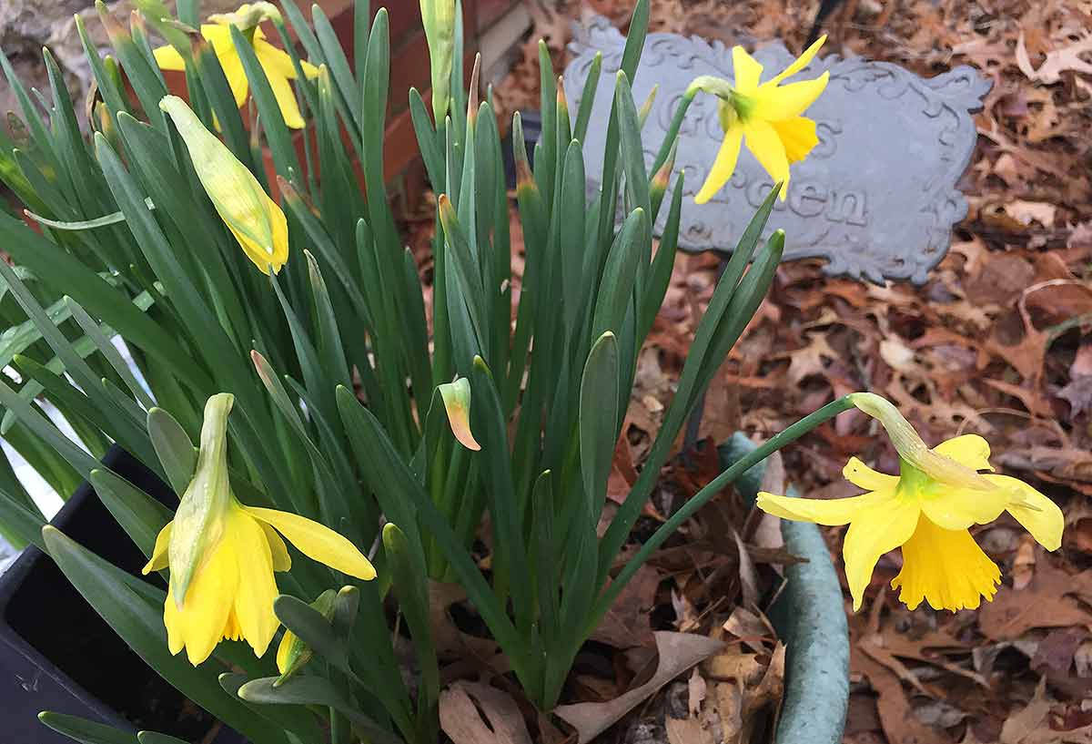 Several daffodil blooms fully open, with more buds about to open