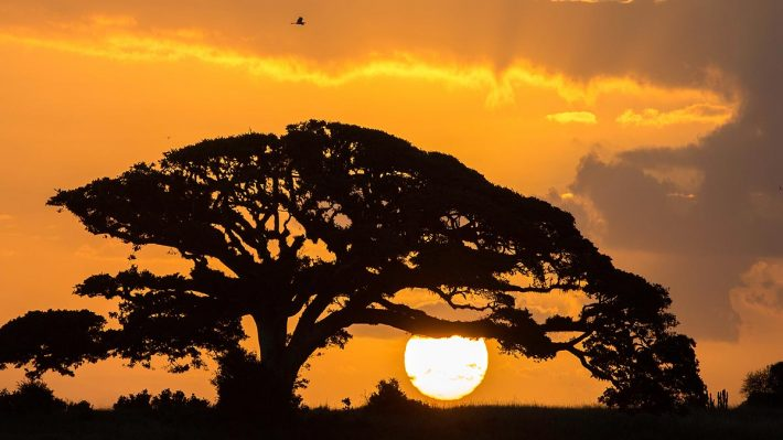 Old tree silhouetted against sunset. Bird files by above the tree.